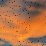 Curacao muggen bestrijden